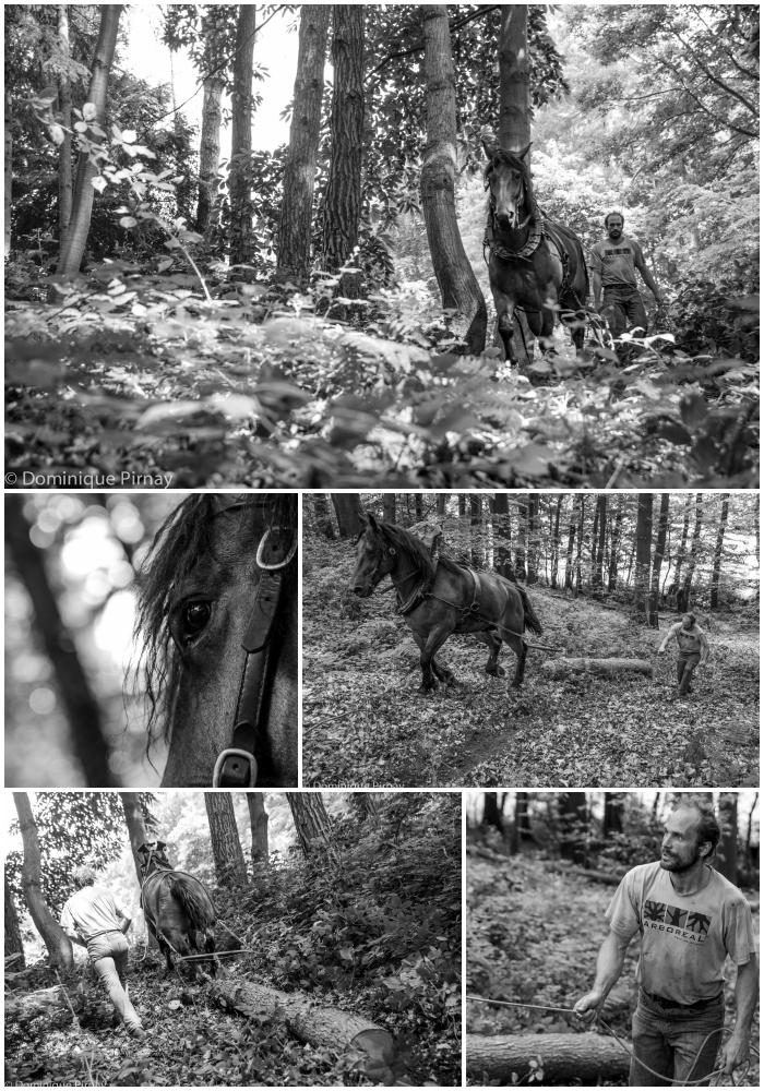 Débardage à cheval par Arboritech